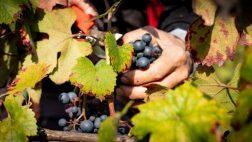 ghio vini uva